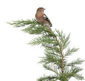 Male Common Chaffinch - Fringilla coelebs perched Stock Image
