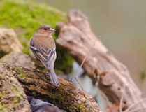 Male Common Chaffinch Stock Photography