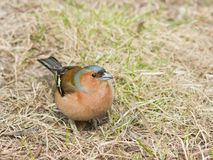 Male Common Chaffinch Fringilla coelebs searching for food, close-up portrait in dry grass, selective focus, shallow DOF Stock Photos