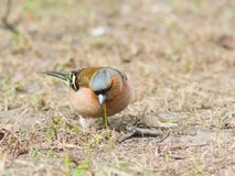 Male Common Chaffinch Fringilla coelebs searching for food, close-up portrait in dry grass, selective focus, shallow DOF Royalty Free Stock Image