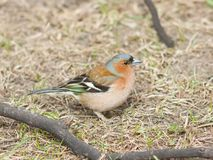 Male Common Chaffinch Fringilla coelebs singing, close-up portrait in dry grass, selective focus, shallow DOF Stock Photo