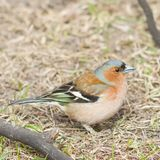 Male Common Chaffinch Fringilla coelebs singing, close-up portrait in dry grass, selective focus, shallow DOF Royalty Free Stock Photography