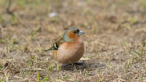Male Common Chaffinch Fringilla coelebs singing, close-up portrait in dry grass, selective focus, shallow DOF Stock Photography