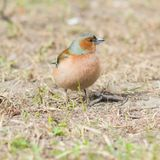 Male Common Chaffinch Fringilla coelebs singing, close-up portrait in dry grass, selective focus, shallow DOF Stock Image