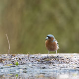 Male common chaffinch Royalty Free Stock Photo