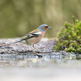 Male common chaffinch Royalty Free Stock Photography