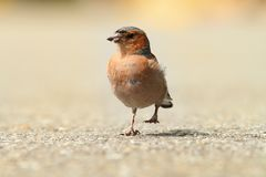 Male common chaffinch on park alley Royalty Free Stock Images
