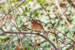 Male Common Chaffinch Stock Image