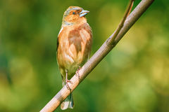 Male Common Chaffinch Royalty Free Stock Photos