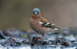 Male Common Chaffinch posing in shallow water on the shore of pool stock image