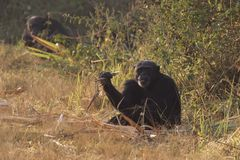 Male common chimpanzee sitting on the edge of a forest near a sugar cane field royalty free stock photos