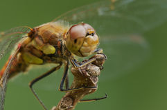 Male Common Darter Stock Photo