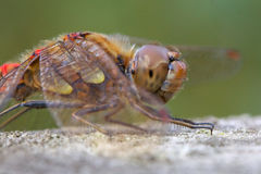 Male Common Darter dragonfly close up. stock photo