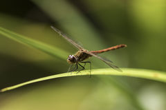Male common darter dragonfly - Sympetrum striolatum. Male common darter dragonfly (Sympetrum striolatum) against soft green background Stock Photo