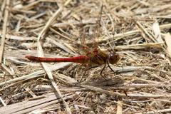 A male Common Darter resting in the sun. Royalty Free Stock Photo