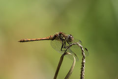Male Common Darter (Sympetrum striolatum) dragonfly. In profile  against blurred green background. From the family Libellulidae Royalty Free Stock Images