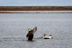 Free Male Common Eider Duck Flapping Its Wings Royalty Free Stock Photo - 206577075