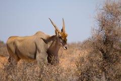 Male Common Eland - Taurotragus oryx. Framed with thorny bush Royalty Free Stock Photos