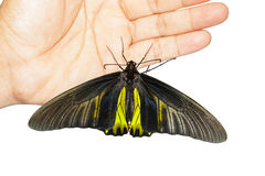 Male Common Golden Bird-wing butterfly hanging on hand Royalty Free Stock Image