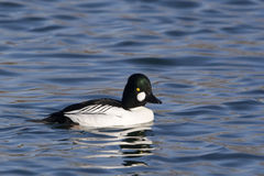 Male Common Goldeneye, Bucephala clangula Stock Photo