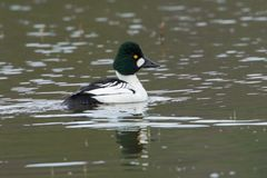 Common goldeneye swimming in water. Royalty Free Stock Image