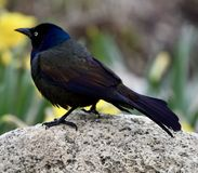 A Male Common Grackle Stock Photography