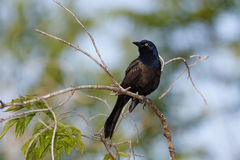 Male Common Grackle Stock Photography