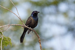 Male Common Grackle (Quizcalus quiscula) Stock Image