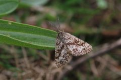 Male Common Heath Moth (Ematurga atomaria). A male common heath moth settled on a green leaf. His feathery feelers are visible. This picture was taken in Stock Images