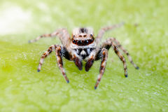 Male common house jumping spider. Also called Menemerus bivittatus Royalty Free Stock Photos