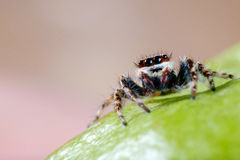 Male common house jumping spider. Also called Menemerus bivittatus Stock Image