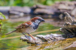 Male Common House Sparrow at pool. A male Common House Sparrow - Passer domesticus - at a pool in southern Europe Stock Photos