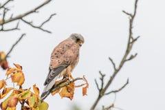 Male Common Kestrel (Falco tinnunculus) Stock Images
