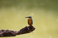 Male common kingfisher,Alcedo atthis Royalty Free Stock Images