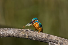 Male common kingfisher alcedo atthis on branch with large fish Royalty Free Stock Images