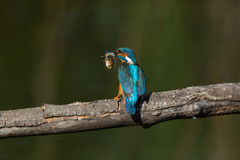 Male common kingfisher alcedo atthis on branch with large fish Royalty Free Stock Photography