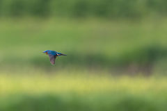 Male common kingfisher Alcedo atthis in flight Stock Photo