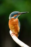 Male common kingfisher Royalty Free Stock Photos