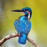 Male Common Kingfisher Royalty Free Stock Image