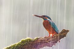 Male common kingfisher in heavy rain with sun shining from behind. Male common kingfisher, alcedo atthis, in heavy rain. Wildlife scene with bird sitting on a royalty free stock image