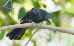 Male Common Koel Stock Images