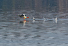 Male Common Merganser taking flight Stock Image