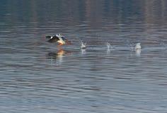 Male Common Merganser taking flight Stock Image