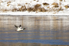 Common Merganser Taking Off From the Water Stock Images
