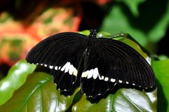 Male Common Mormon,aka,Papilio polytes Stock Photos