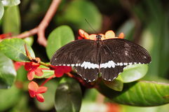 Male Common Mormon Butterfly,aka,Papilio polytes Royalty Free Stock Photography