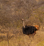 A male Common Ostrich Royalty Free Stock Image