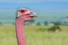 Male Common Ostrich Portrait Royalty Free Stock Image