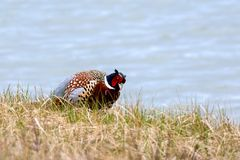 Male common pheasant on a blue background. Very colorful male common pheasant on light blue bokeh Royalty Free Stock Photos