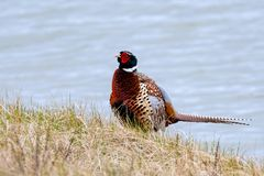 Male common pheasant on a blue background. Very colorful male common pheasant on light blue bokeh royalty free stock photo